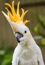 Portrait Of Sulphur Crested Cockatoo (Cacatua Galerita)