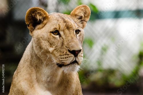 Fotografie, Obraz  Portrait of African lioness lion (Panthera leo)