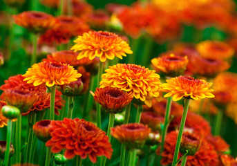 FototapetaColorful autumnal chrysanthemum