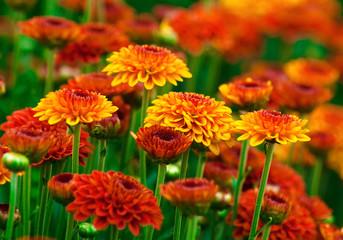 Fototapeta Jesień Colorful autumnal chrysanthemum