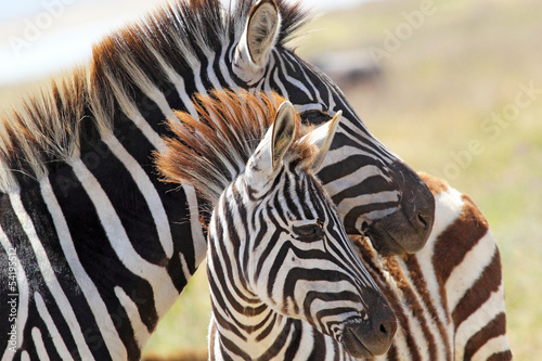 Aluminium Prints Zebra Baby zebra with mother