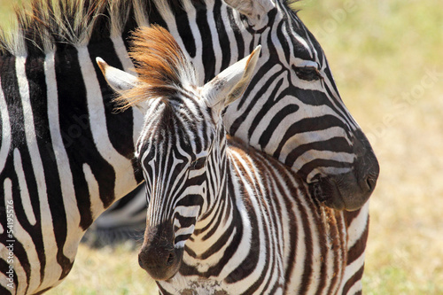Fototapety, obrazy: Baby zebra with mother