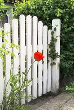 White Garden Gate And Red Poppy
