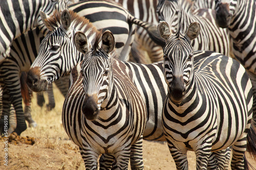 Herd of common zebras