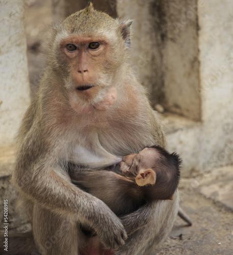 In de dag Baby sucking breast mother monkey