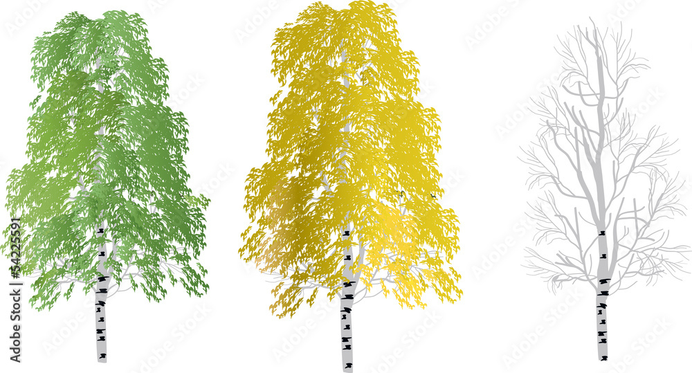 three birch trees isolated on white