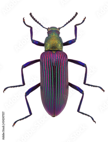 beautiful beetle  Strongylium cupripenne from Madagascar Poster