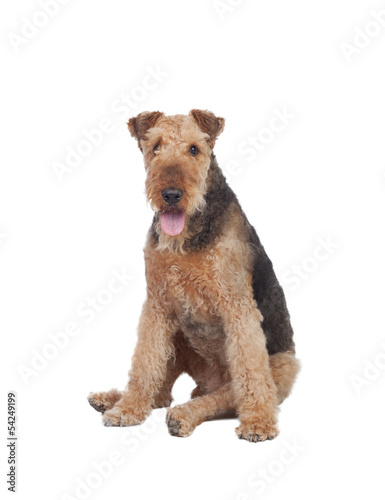 Nice airedale terrier breed dog Canvas Print