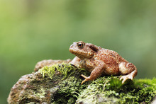 Common Toad, Bufo Bufo