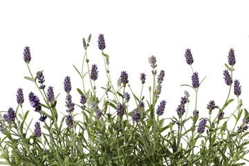 Panel Szklany Popularne lavender