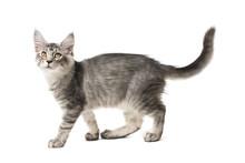 Gray Kitten Walks