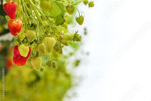 zielone-i-czerwone-truskawki-przeciw-bialemu-tlu