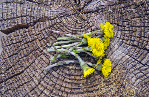 Valokuva  fresh coltsfoot medical flowers on old wooden background