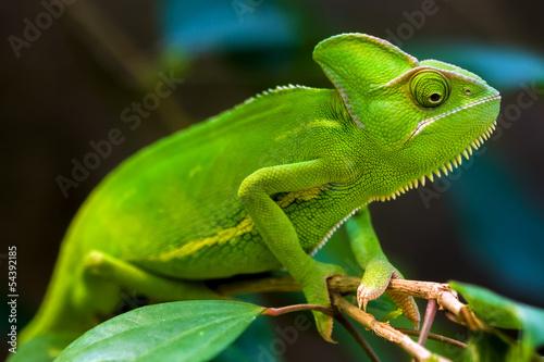 Photo sur Aluminium Cameleon Green chameleon