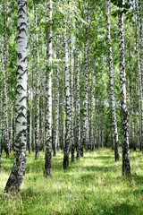Fototapeta Brzoza July view of sunny birch grove