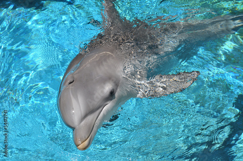 Foto op Aluminium Dolfijn Dolphin swimming in water looking at camera