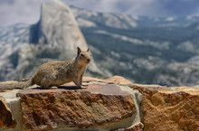 Squirrel In Yosemite