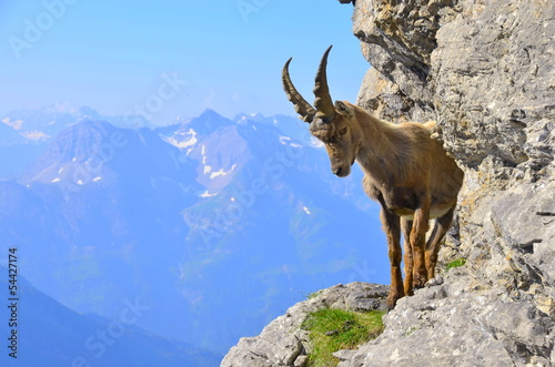Fotografia  Junger Steinbock im Gebirge