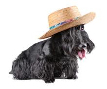 Sitting  Scotch Terrier