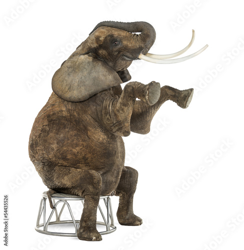 Foto op Aluminium Olifant African elephant performing, seated on a stool, isolated
