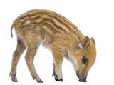 Wild boar, Sus scrofa, also known as wild pig, 2 months old - 54436951