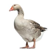 Domestic Goose, Anser Anser Do...