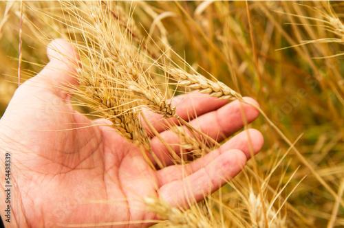 Fotografie, Obraz  grano nella mano