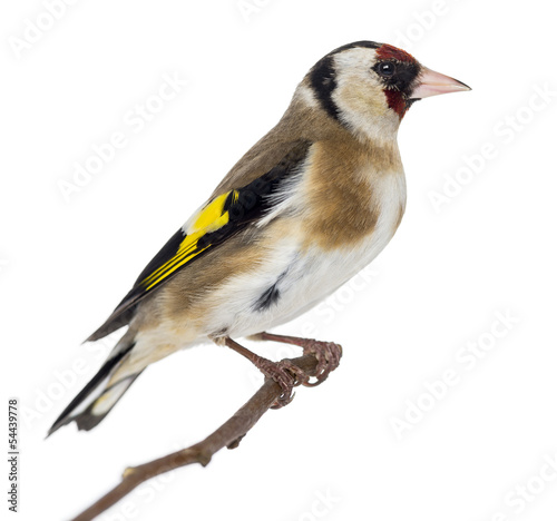 European Goldfinch, carduelis carduelis, perched on a branch Wallpaper Mural