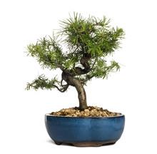European Larch Bonsai Tree, La...
