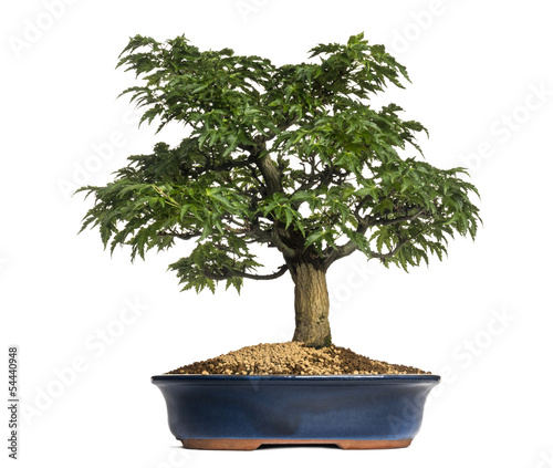 Photo Stands Bonsai Japanese Maple or Shishigashira bonsai tree, Acer Palmatum