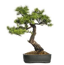 Larch Bonsai Tree, Larix, Isol...