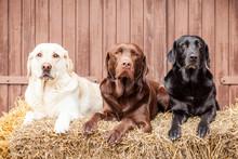 Drei Labrador Retriever Freunde