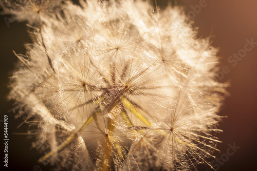 Keuken foto achterwand Paardebloemen en water Flower Dandelion. Close-up