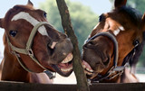 Fototapeta Horses - horse smile