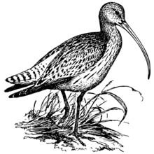 Bird Eurasian Curlew