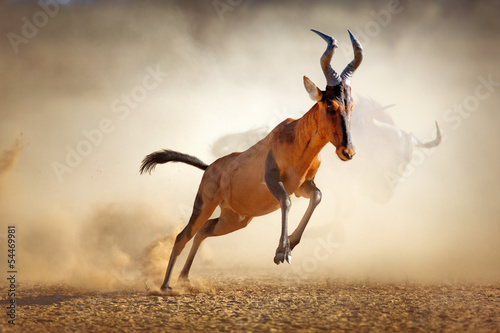 Antilope Red hartebeest running in dust