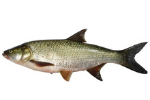 Asp Predatory Freshwater Fish ...