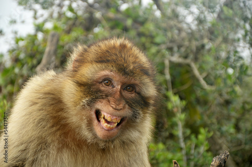 Foto op Plexiglas Aap Laughing Monkey