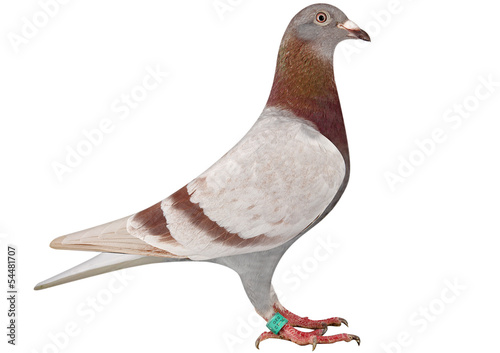 Racing Pigeon - Buy this stock photo and explore similar