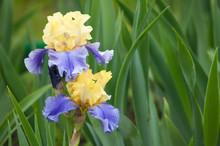 Two Wet Yellow And Blue Irises...