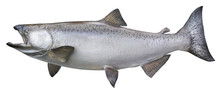 Big Chinook Or King Salmon Isolated On White