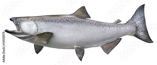 Foto Big chinook or king salmon isolated on white