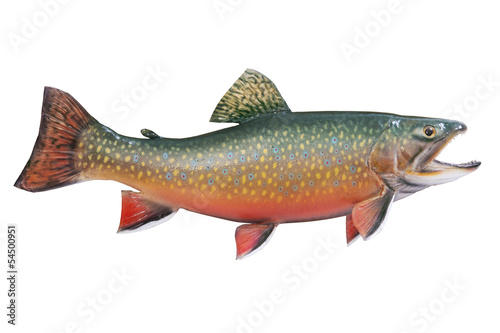 Valokuva  Male brook or speckled trout in spawning colors isolated on whit