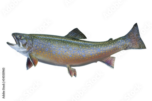 Cuadros en Lienzo Speckled or brook trout isolated on white background