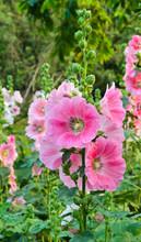Pink Hollyhock Flower In Bloom