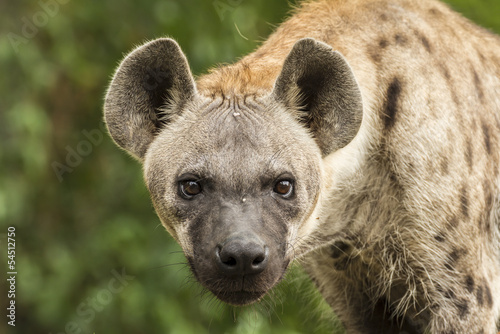 Foto op Canvas Hyena Spotted Hyena in the wild
