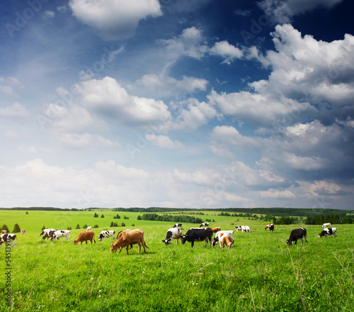 Photo Stands Cow Cows