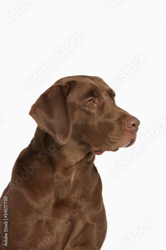 Poster Chasse Chocolate Labrador Retriever