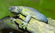 egyptian mastigure lizard