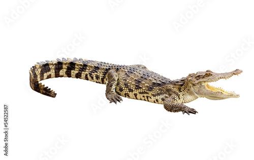 Papiers peints Crocodile Albino crocodile isolated with clipping path